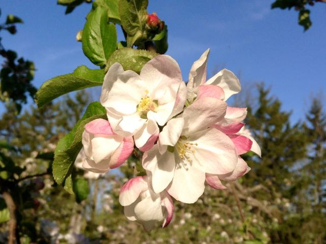 Healthy Apple Blossoms Predict a Sweet Harvest