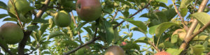 Whispering Orchards Summer Apples