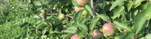 Whispering Orchards Cafe Summer Apples